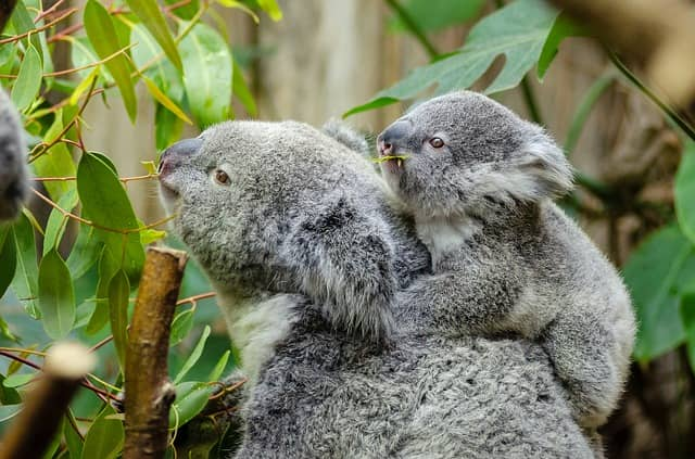 female-koala-and-her-baby-1332217_640-min